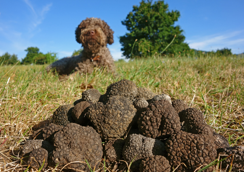 How to find the truffle with a dog