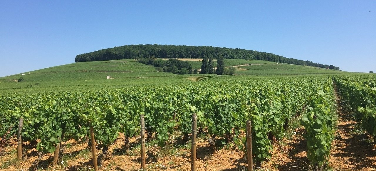 Vineyard & Discoveries : hill of Corton near Beaune in Burgundy